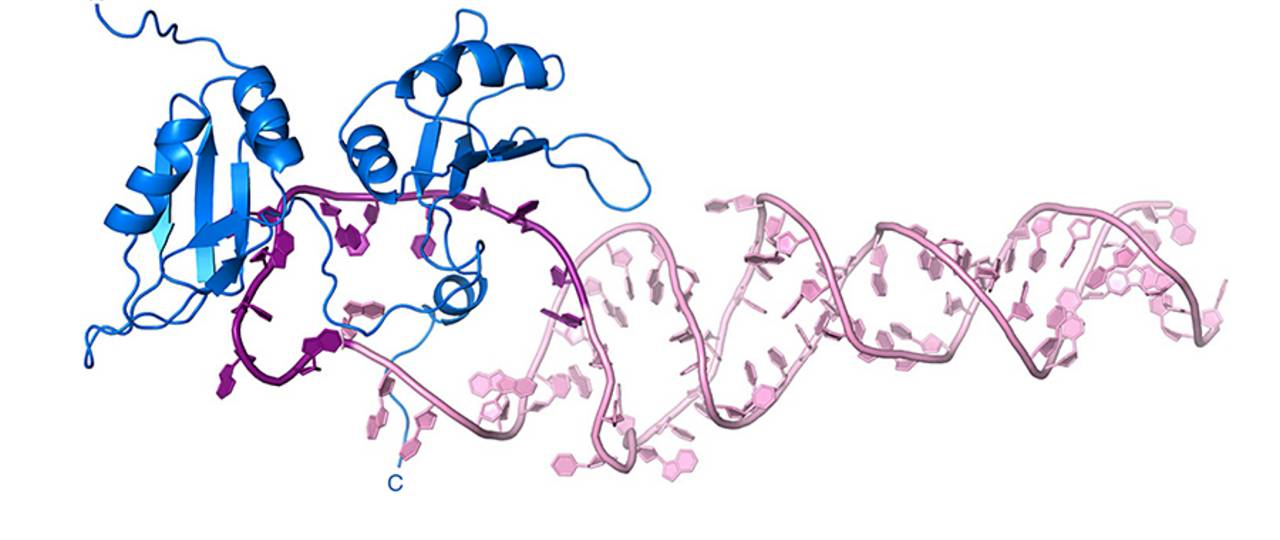 The protein (blue) recognizes the pri-miR18a (pink) and transforms it into the mature miRNA. (Image: H. Kooshapur / TUM)