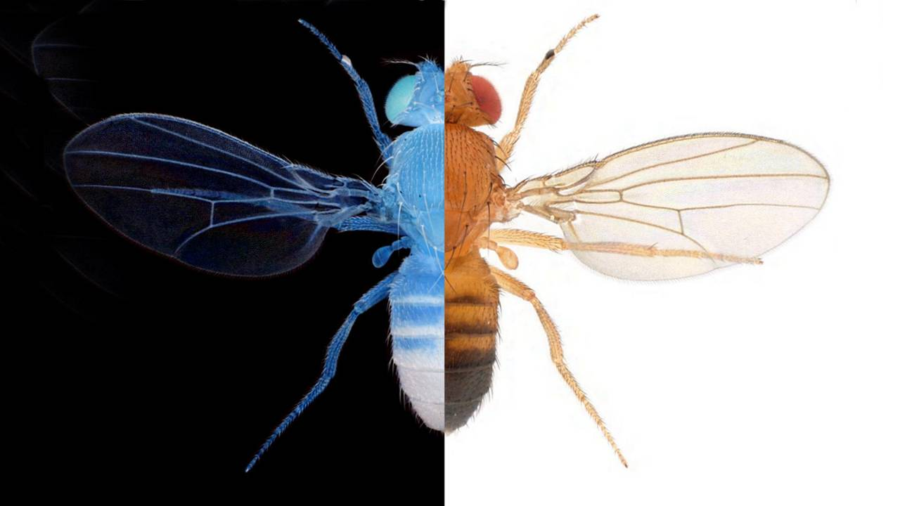 Dopamine helps animals like the fly Drosophila melanogaster to classify good and bad (symbolized by black and white) in their decisions.