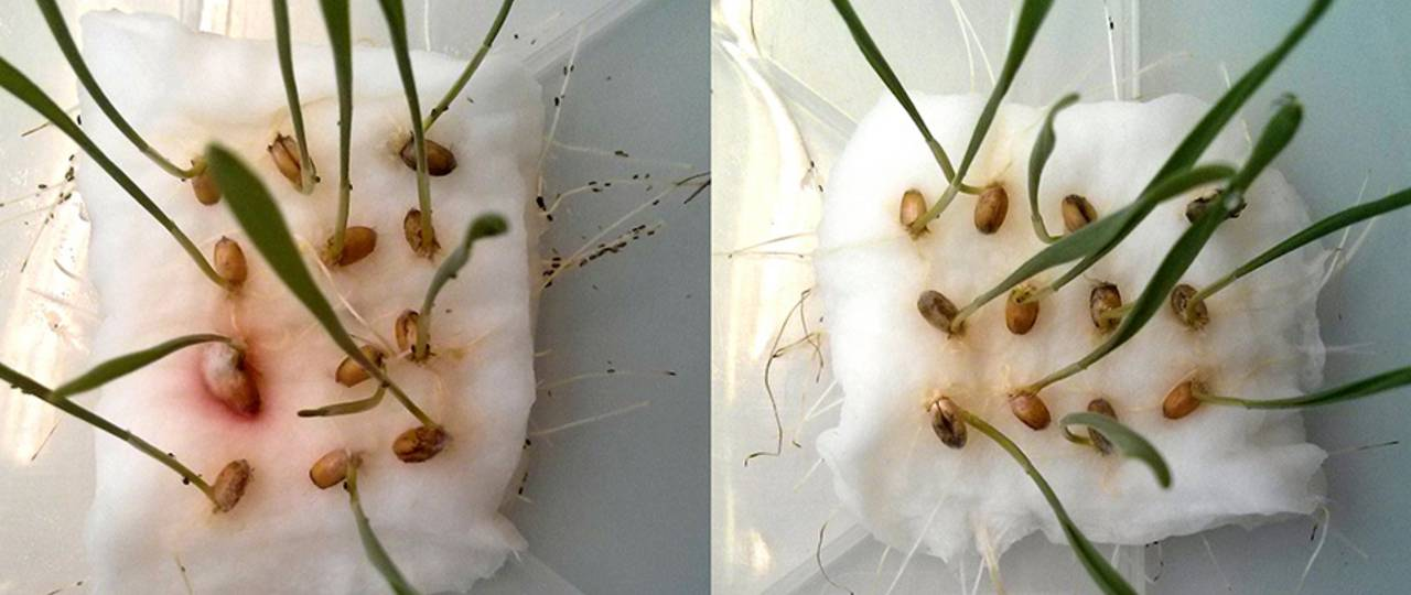 If aphids have the choice between wheat seedlings with (right) and without CBT-ol treatment (left), they avoid the treated seedlings. (Images: W. Mischko / TUM)