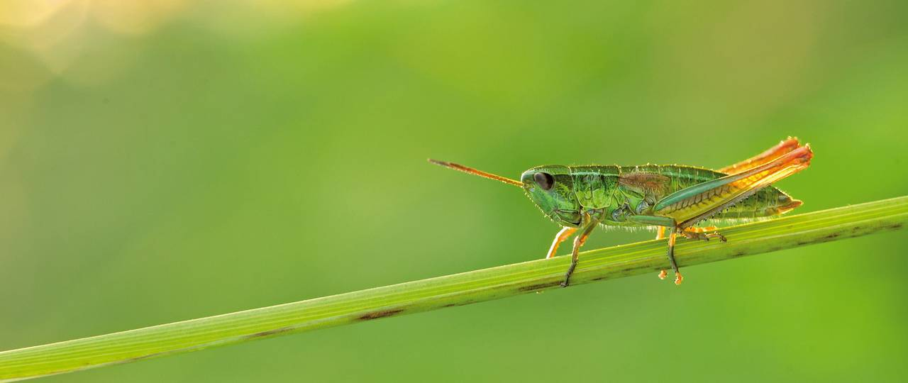 Populations of insect species, such as the Small Gold Grasshopper (Chrysochraon dispar), have significantly declined.