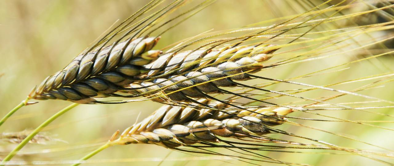 Wild Emmer is the origin of almost all cultivated varieties of wheat and one of the oldest cultivated plants. Emmer is closely related to bread and pasta wheat. (Poto: Fotolia/ J. Mühlbauer exclus.)