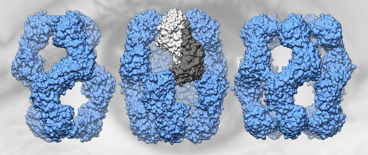 Human αA-crystallin forms structures of 12, 16 and 20 subunits (from left to right). Two subunits (center, dark and light gray) form a dimer.