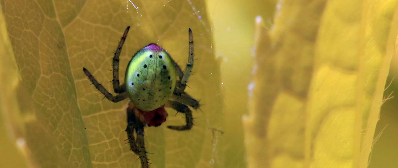 The pumpkin spider is one of the species observed for the study. Their name points to the yellowish-green backbones, which reminds of a pumpkin. (Foto: Charlesjsharp Sharp Photography /Creative-Commons-Lizenz CC BY-SA 3.0)