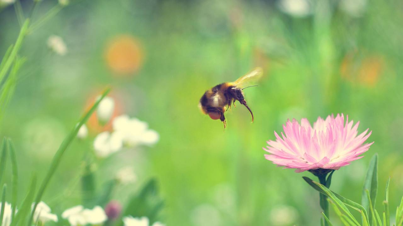 A bumblebee approaching a blossom.