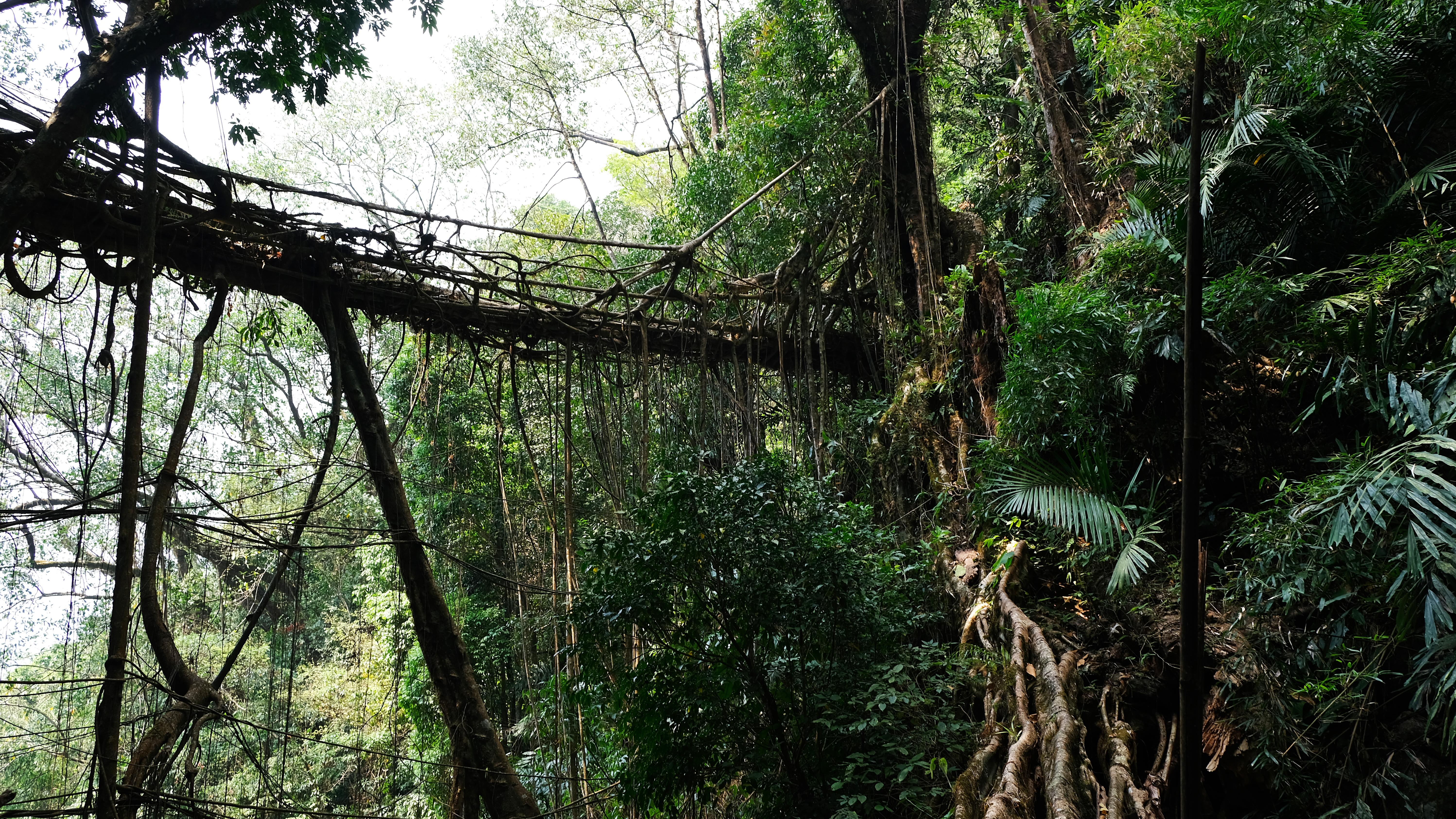 The so-called Meghalaya bridges often lead over steep valleys. Many are secured by railings and handrails also made from the aerial roots.