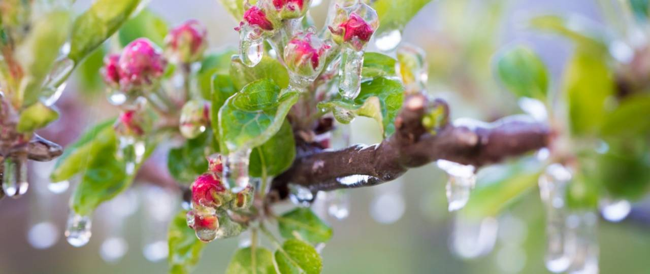 Pictured are frozen flowers of an apple tree in South Tyrol, Italy that have been protected from damage by late frost with frost-protection sprinkling. Eremina et al show that in the freezing tolerance of plants steroid hormones take part, and elucidate molecular pathways, which contribute to this activity. (Photo: courtesy of D. Mitterer-Zublasing)