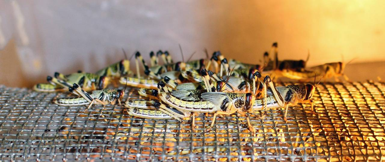 Among other things, the research team led by Dr. med. Sevgan Subramanian and Prof. Wilhelm Windisch developed a special feed mix for locusts (Schistocerca gregaria).