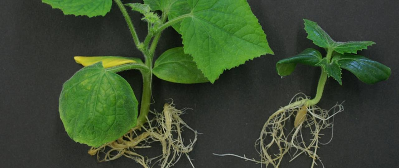 The photo shows just how important brassinosteroids are for the development of plants. A deficit of the plant hormone has disrupted growth in the cucumber plant on the right.
