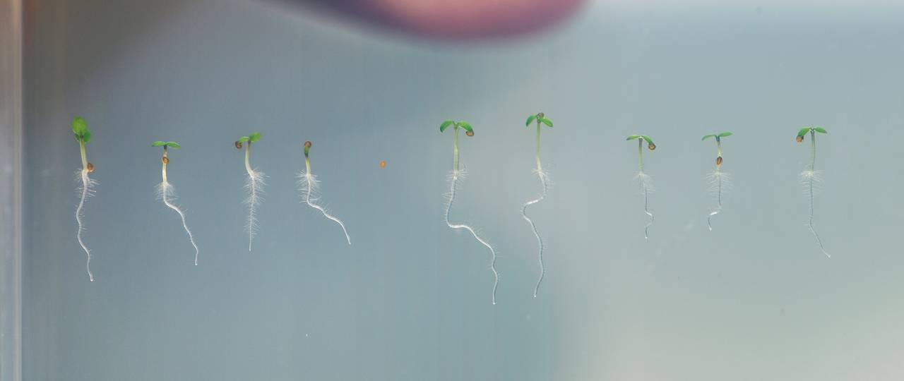 Seedlings of thale cress (Arabidopsis). The KAI2 protein regulates essential functions of root and root hair growth.
