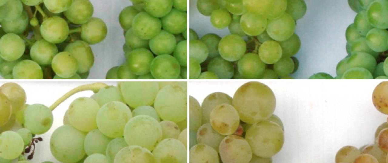 As the grapes ripen, more and more aroma compounds accumulate in their skin.