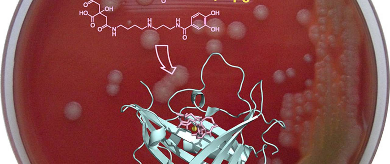 Scientists have developed an innovative strategy for preventing the anthrax bacterium from absorbing iron.