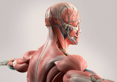 Human anatomy showing head, shoulders and back muscular system