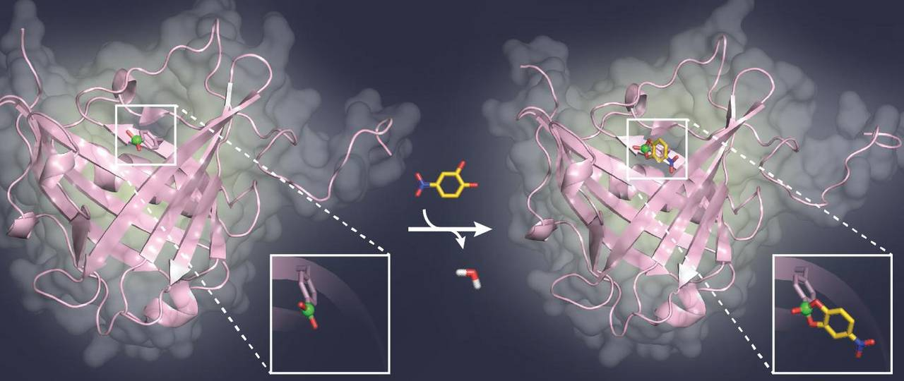 A model sugar ligand (yellow) binds to the boric acid group (green) in the pocket of a binding protein (pink).