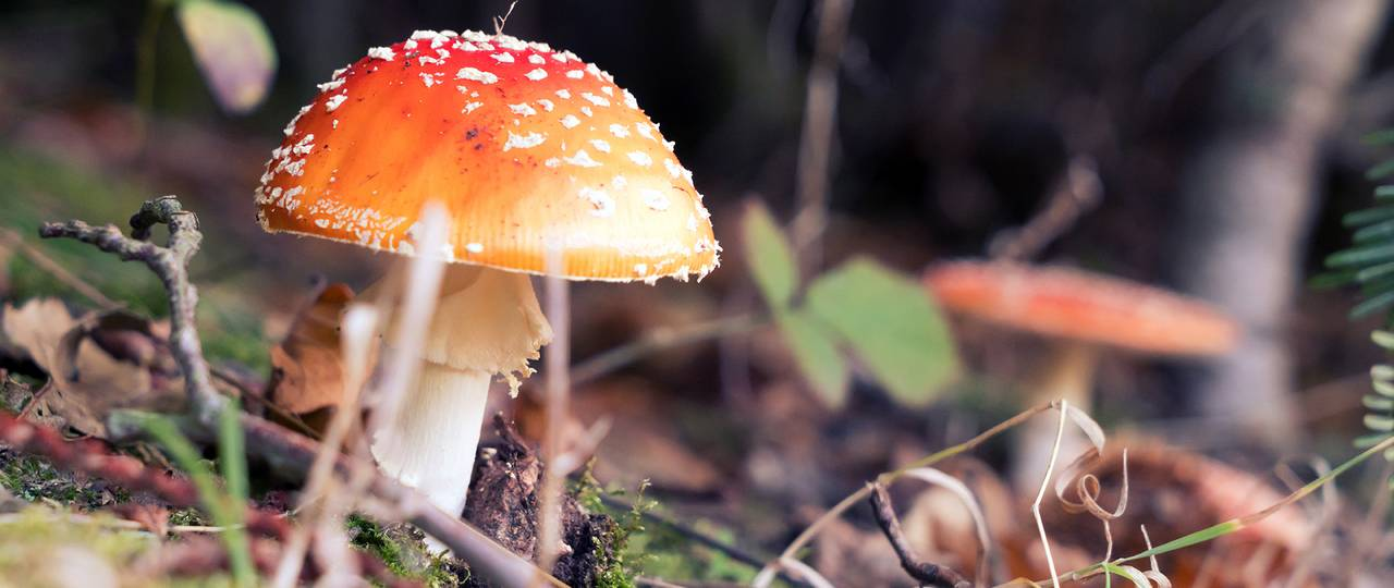 The fly agaric with its red hat is perhaps the most evocative of the diverse and variously colored mushroom species.
