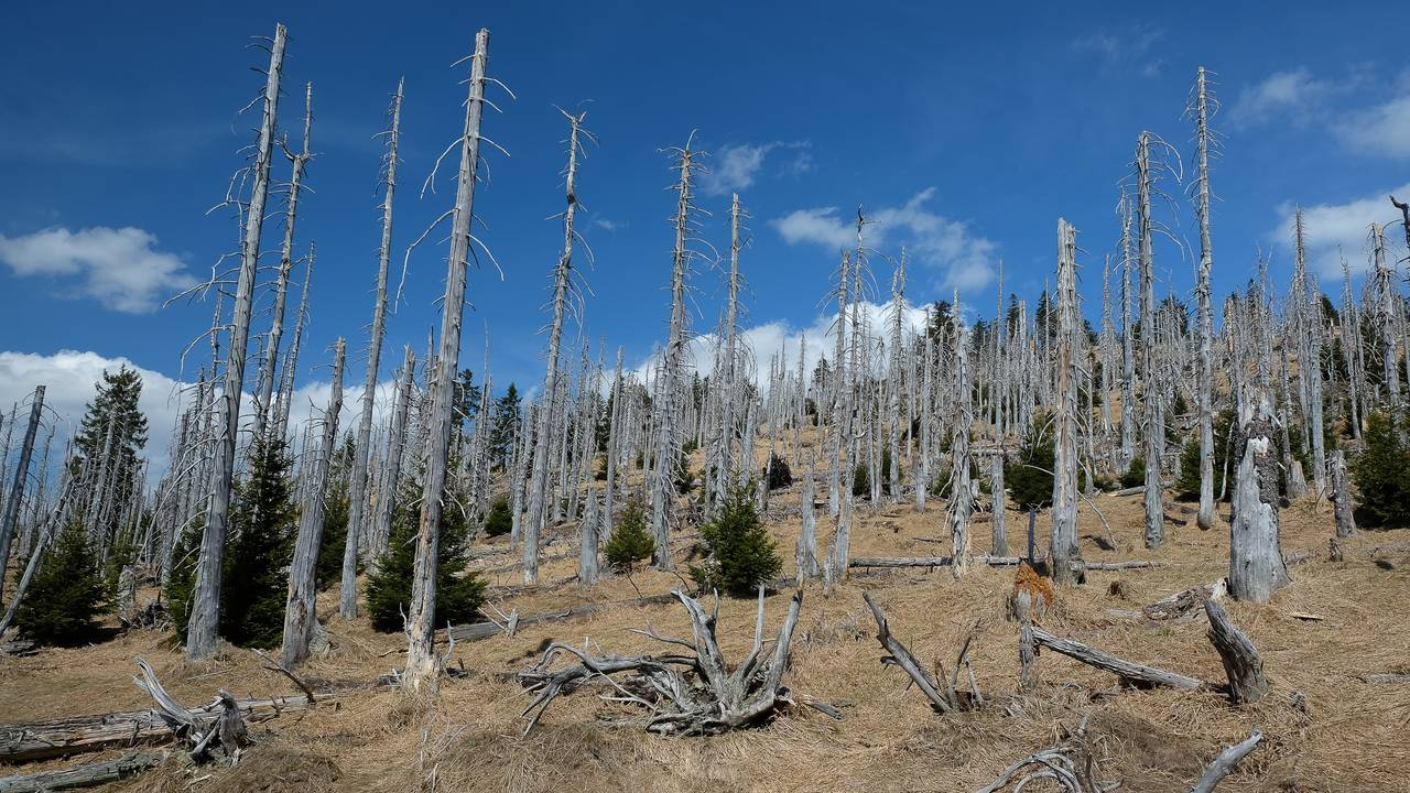 Dead spruce trees in the  Bavarian Forest