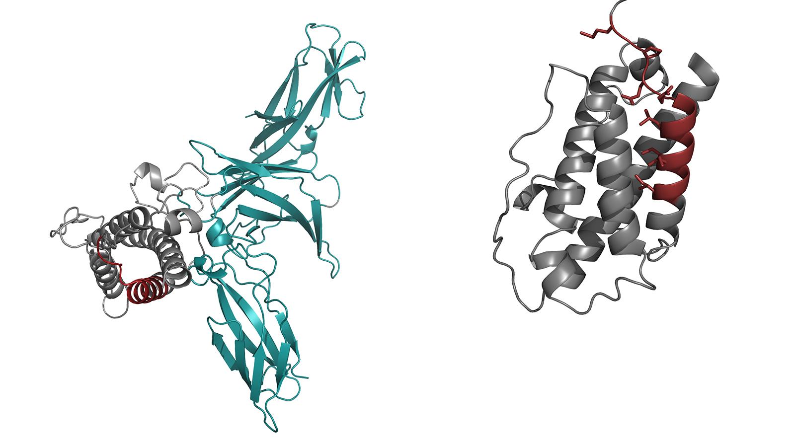 Gesamtstruktur von Interleukin 23 und Detailansicht der modifizierten Version der Komponente IL23-alpha