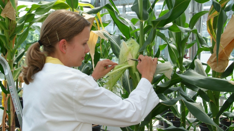 Scientist in front of corn plants in a greenhouse