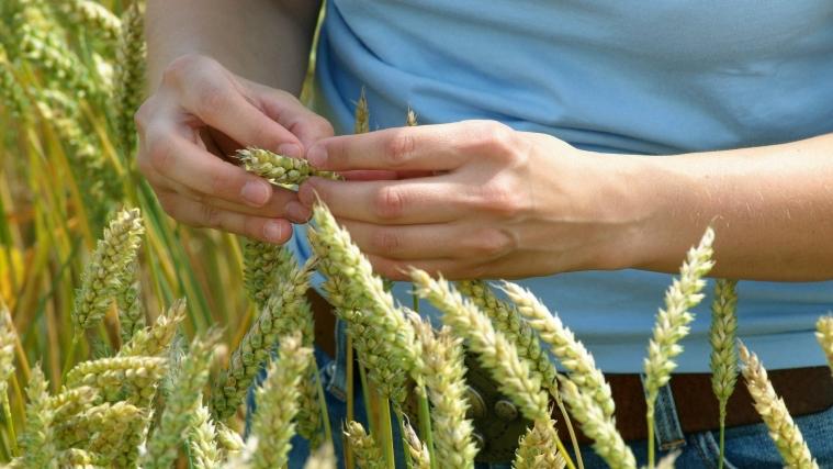 Eine Studentin untersucht eine Ähre in einem Weizenfeld