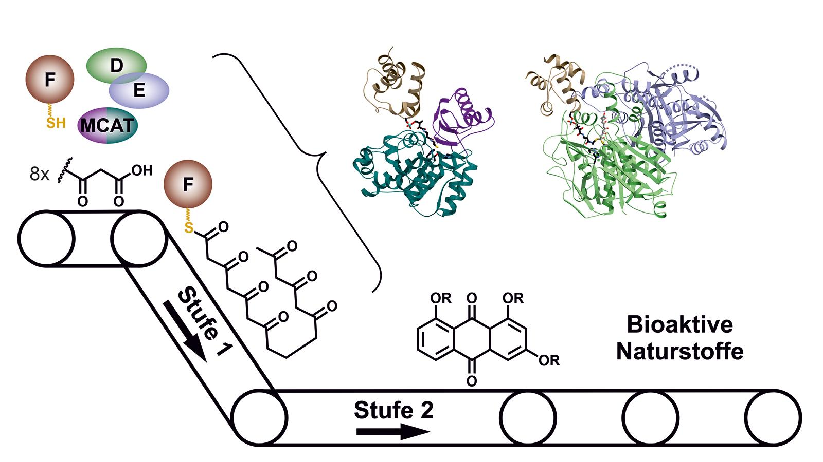 Im Typ II PKS-System spielen die einzelnen Enzyme beim Aufbau von Naturstoffen wie die Fließbänder einer Fabrik zusammen.